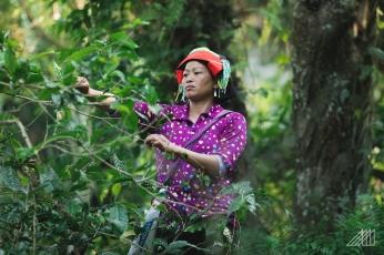 tea-picking-vietnam