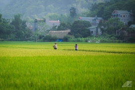 vietnam-rice-fields
